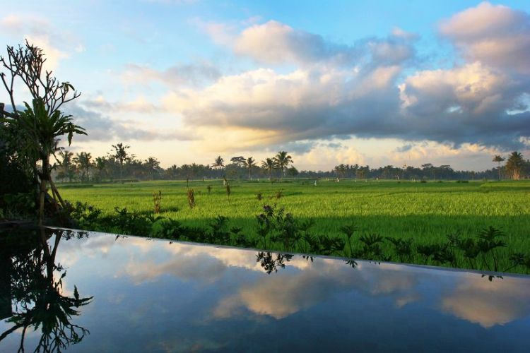 View over Villi Lotus infinity edge pool with lush rice paddies, fluffy clouds and blue sky visible